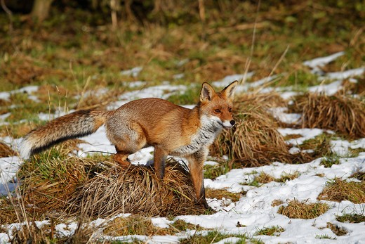 Red Fox, vulpes vulpes, Adult walking on Snow, Normandy : Stock Photo