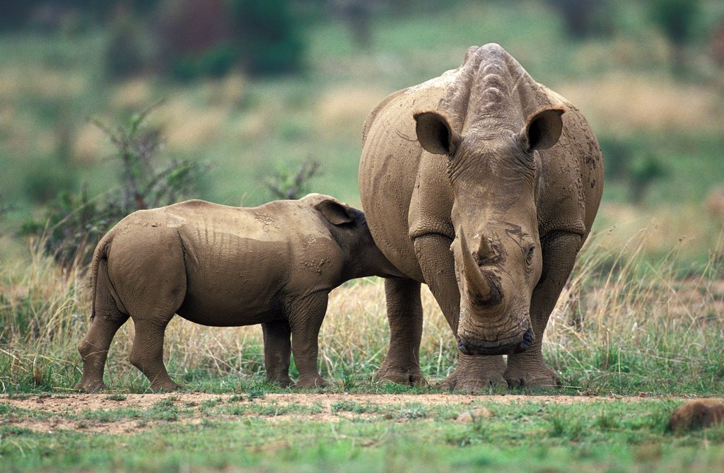 Stock Photo: 4273-18957 White Rhinoceros, ceratotherium simum, Mother with Calf suckling, South Africa