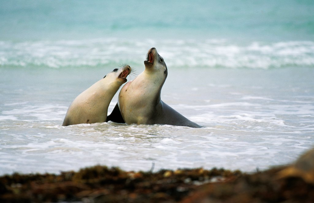 Australian Sea Lion, neophoca cinerea, Females standing in Water, Australia : Stock Photo