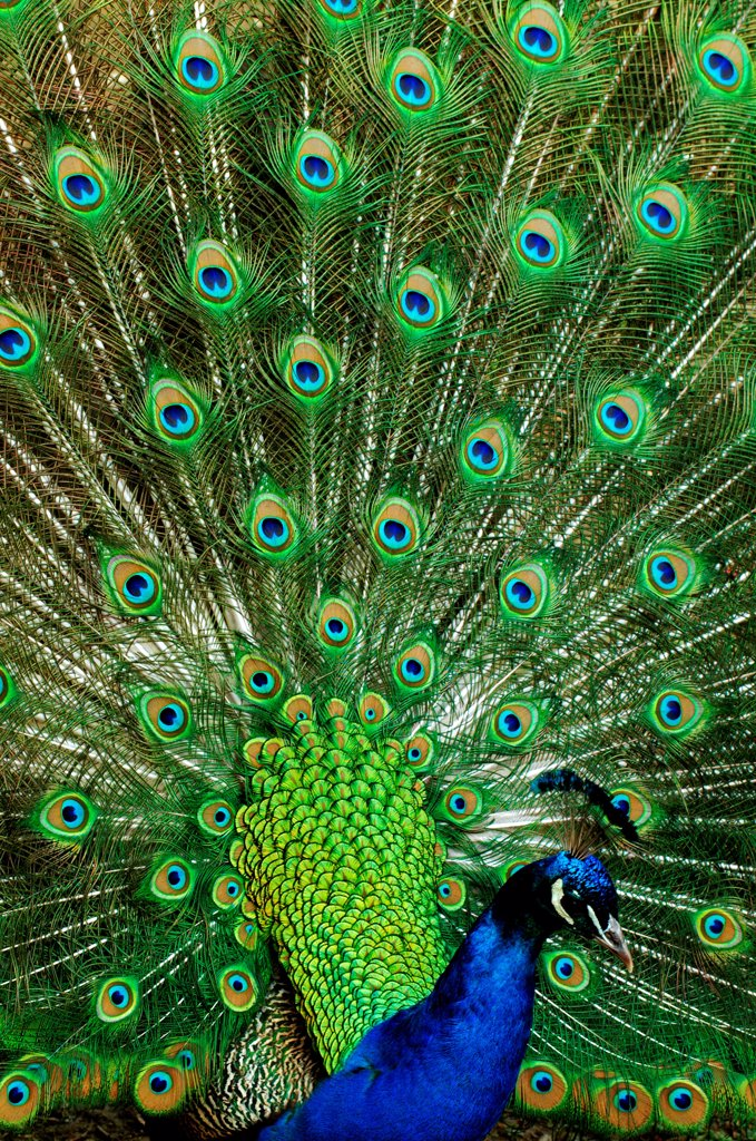 Common Peacock, pavo cristatus, Male displaying with its Feathers fanned, showing its Plumage : Stock Photo