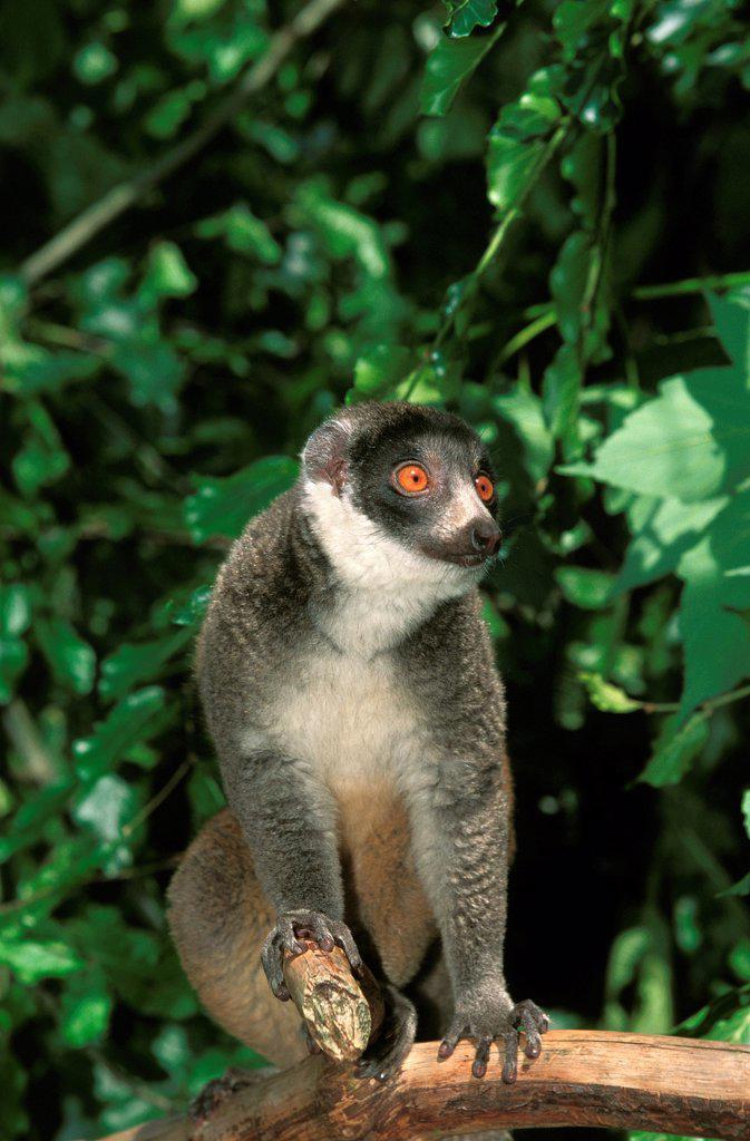 Stock Photo: 4273-18996 Mongoose Lemur lemur mongoz, Adult standing on Branch