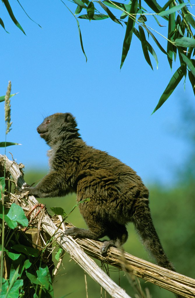 Stock Photo: 4273-19004 Gray Bamboo Lemur, hapalemur griseus, Adult standing on Branch