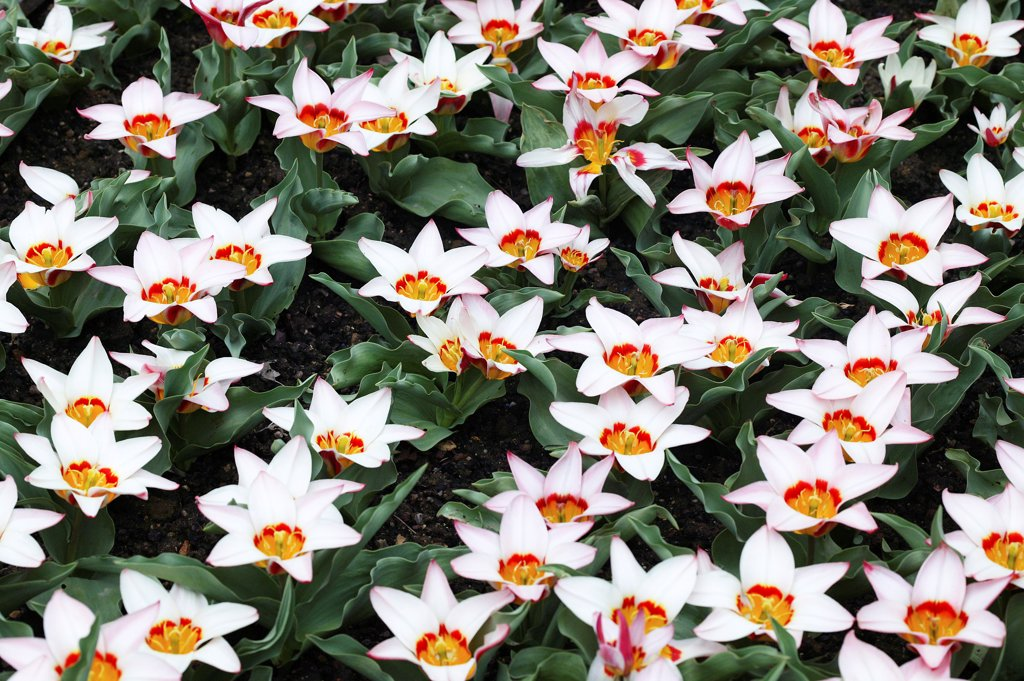 Stock Photo: 4273-19011 Tulips, tulipa kaufmanniana ancilla