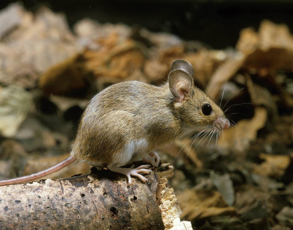 Yellow Necked Mouse, apodemus flavicollis, Adult : Stock Photo