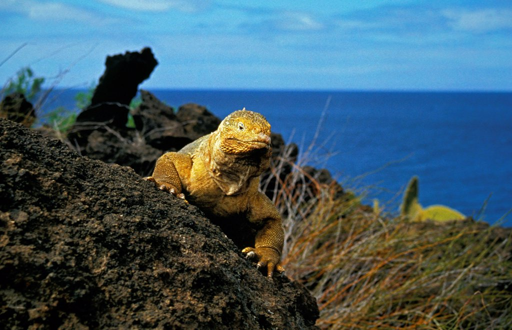 Stock Photo: 4273-19025 Galapagos Land Iguana, conolophus subcristatus, Adult standing on Rocks