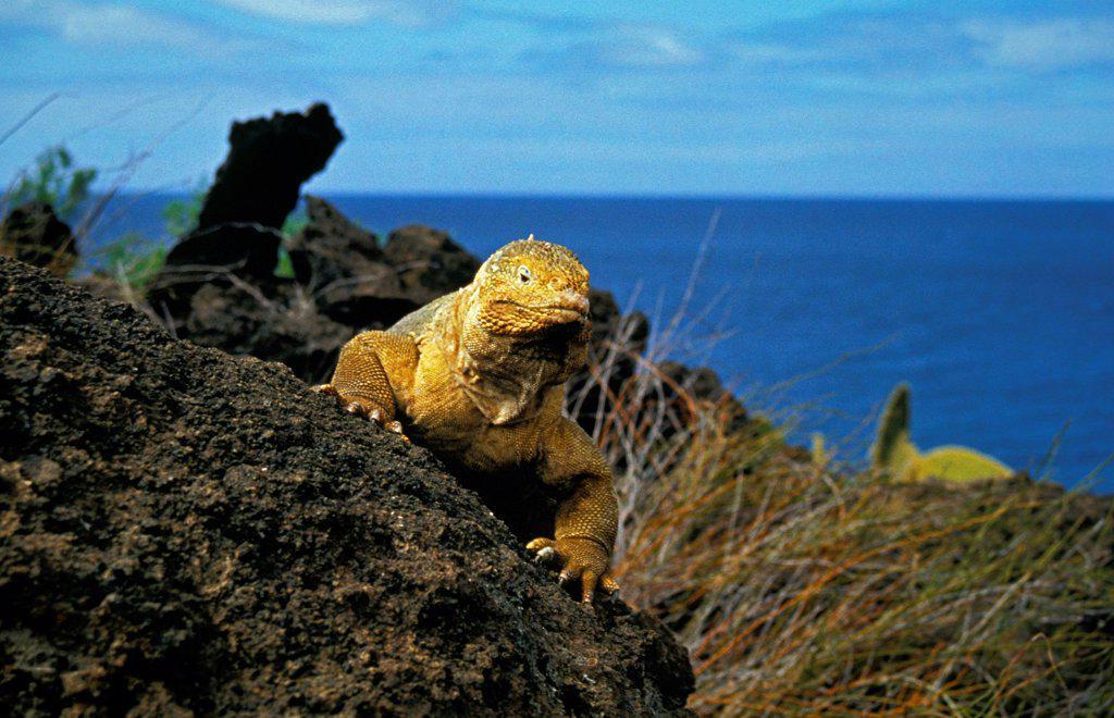 Galapagos Land Iguana, conolophus subcristatus, Adult standing on Rocks : Stock Photo