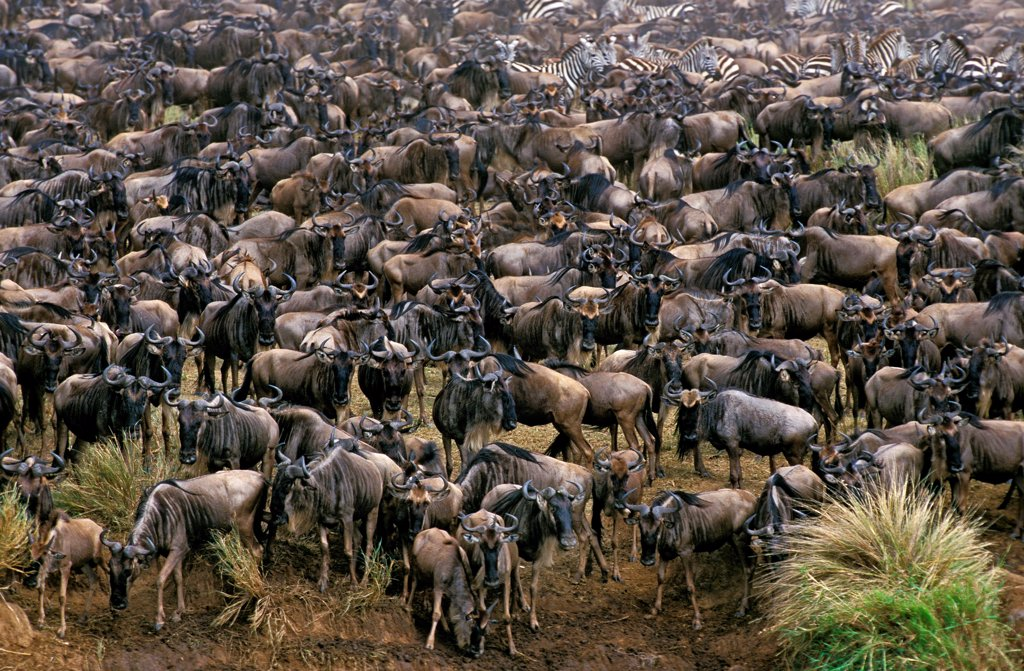 Stock Photo: 4273-19027 Blue Wildebeest, connochaetes taurinus, Herd during Migration, Masai Mara Park in Kenya