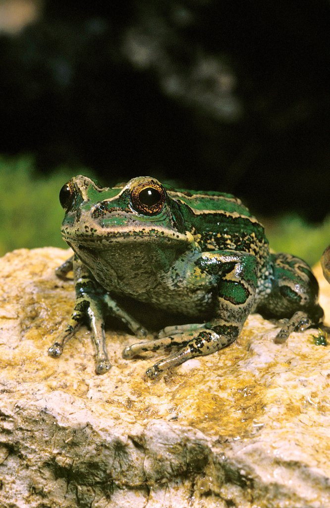 Marsupial Frog, gastrotheca riobambae, Adult standing on Stone : Stock Photo