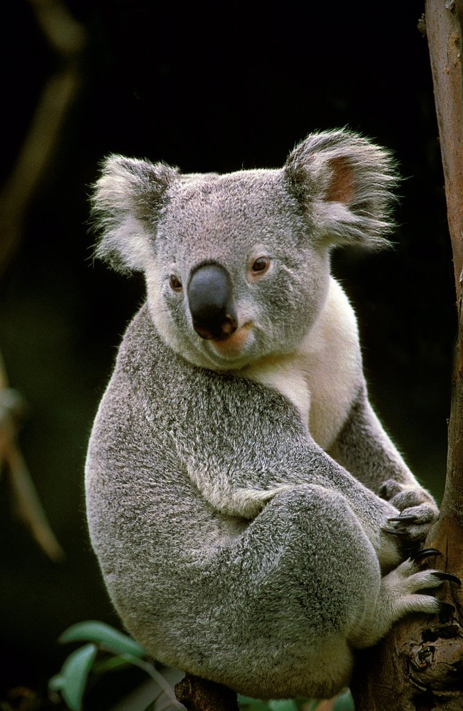 Stock Photo: 4273-19048 Koala, phascolarctos cinereus, Adult sitting on Branch, Australia