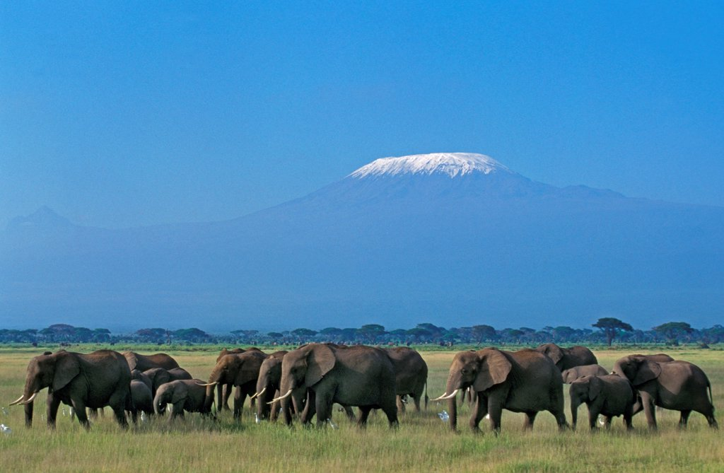 Stock Photo: 4273-19053 African Elephant, loxodonta africana, Herd near Kilimandjaro Mountain, Tanzania
