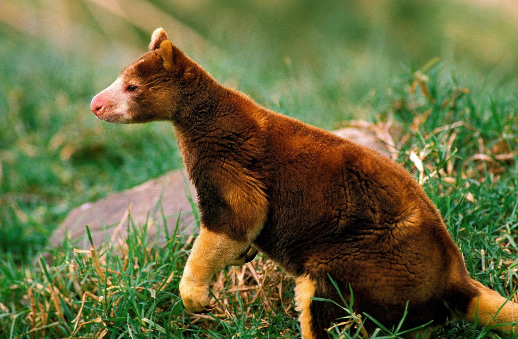 Stock Photo: 4273-19060 Matschie's tree Kangaroo, dendrolagus matschiei, Adult standing on grass
