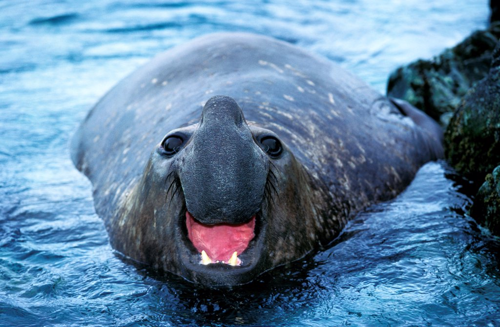Stock Photo: 4273-19062 Southern Elephant Seal, mirounga leonina, Male calling, Antarctica