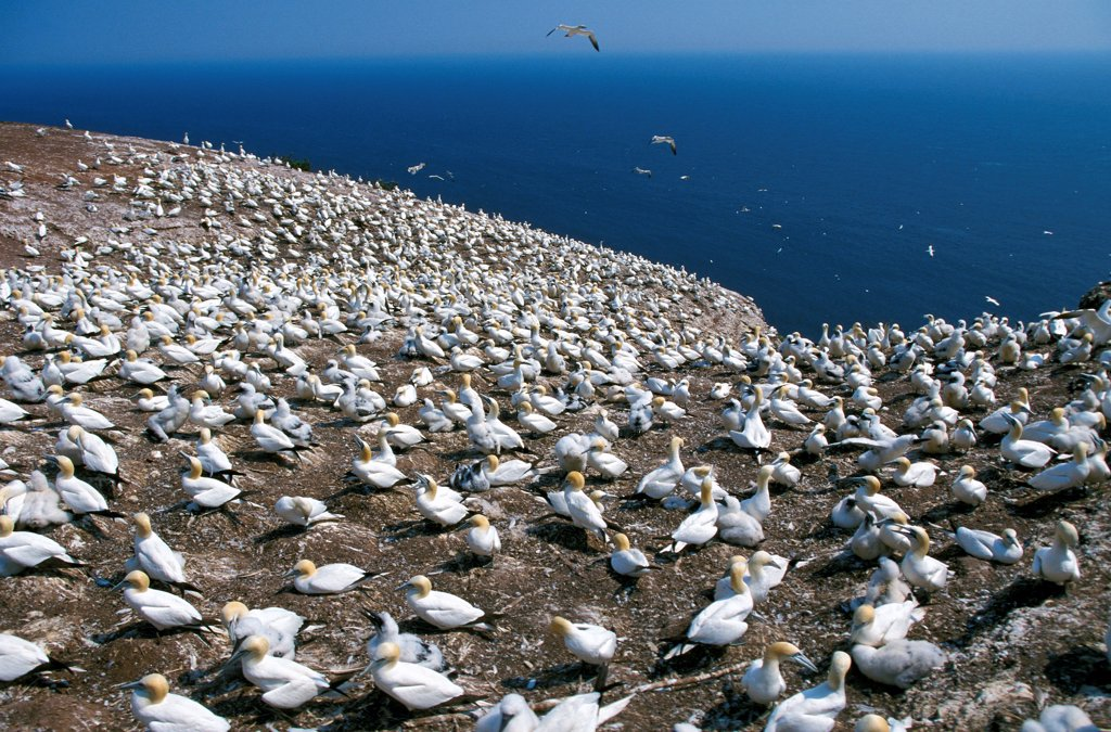 Northern Gannet, sula bassana, Nesting Colony, Bonaventure Island in Quebec, Canada : Stock Photo