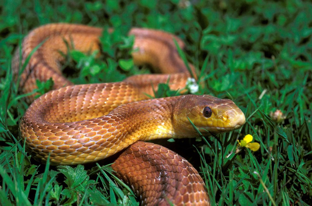 Four-Lined Snake,  elaphe quatuorlineata : Stock Photo
