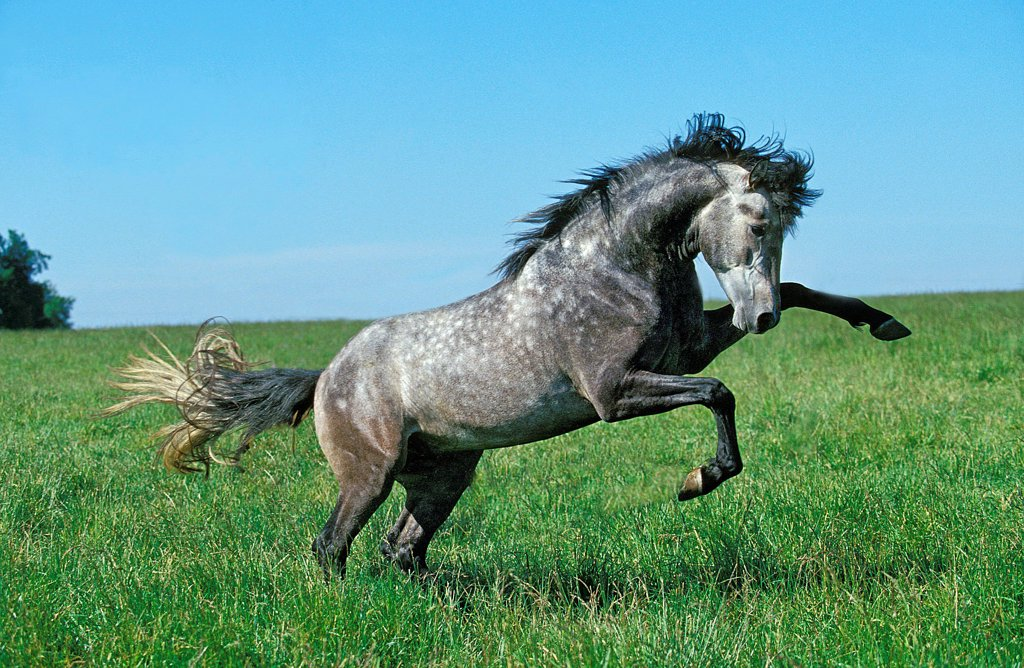 Lusitano Horse, Stallion Bucking : Stock Photo