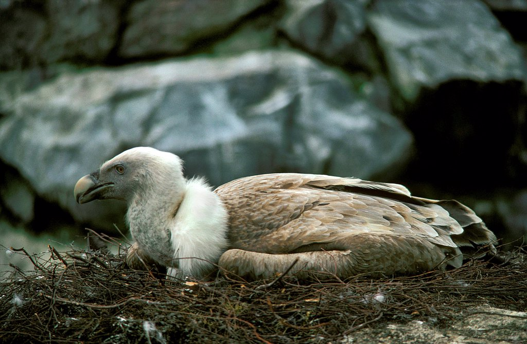 Stock Photo: 4273-19075 Griffon Vulture, gyps fulvus, Adult standing on Nest