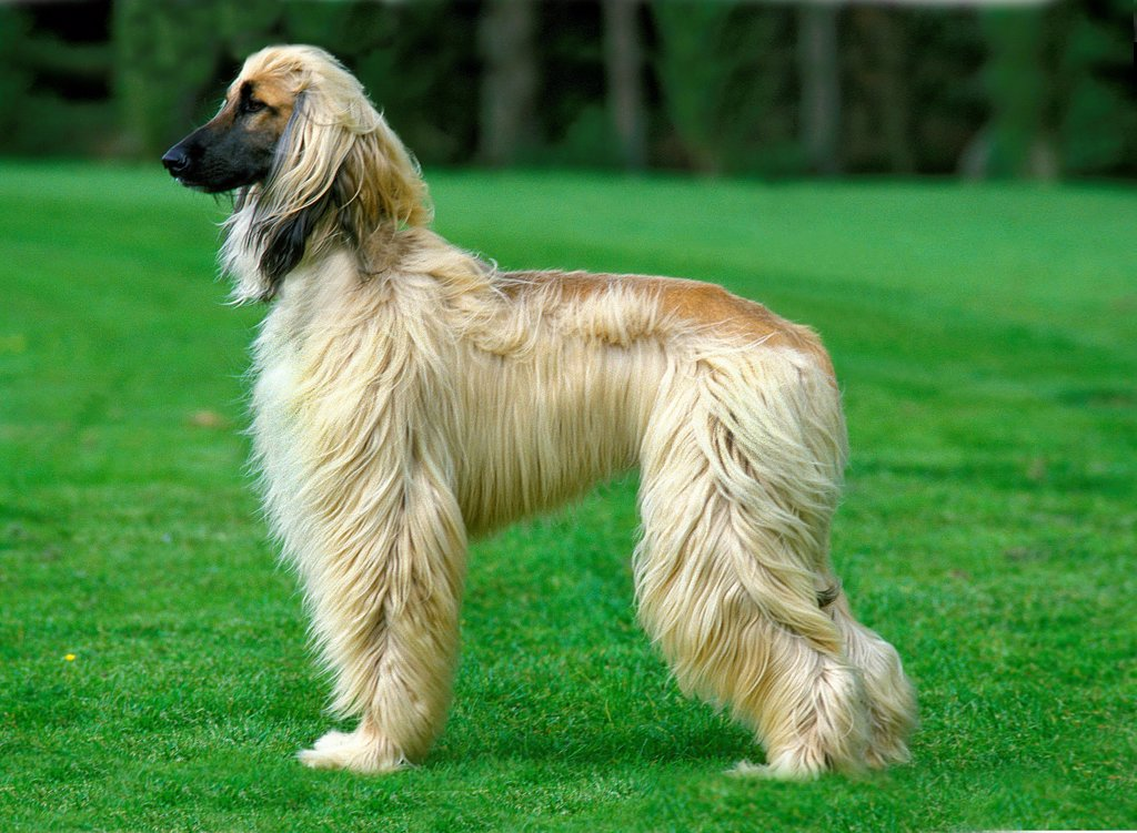 Stock Photo: 4273-19076 Afghan Hound, Adult standing on Grass