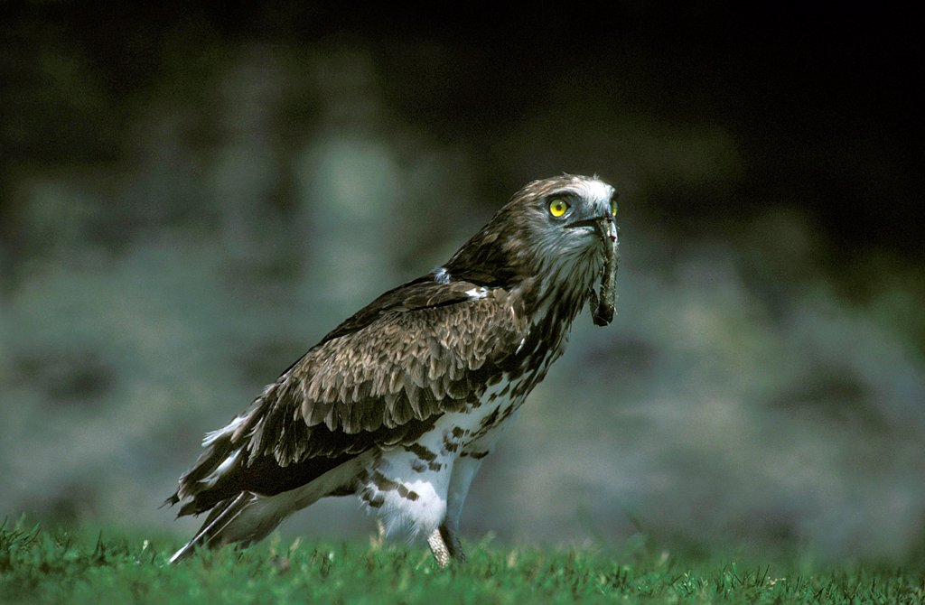 Short-Toed Eagle, circaetus gallicus, Adult with European Eel in its Beak : Stock Photo