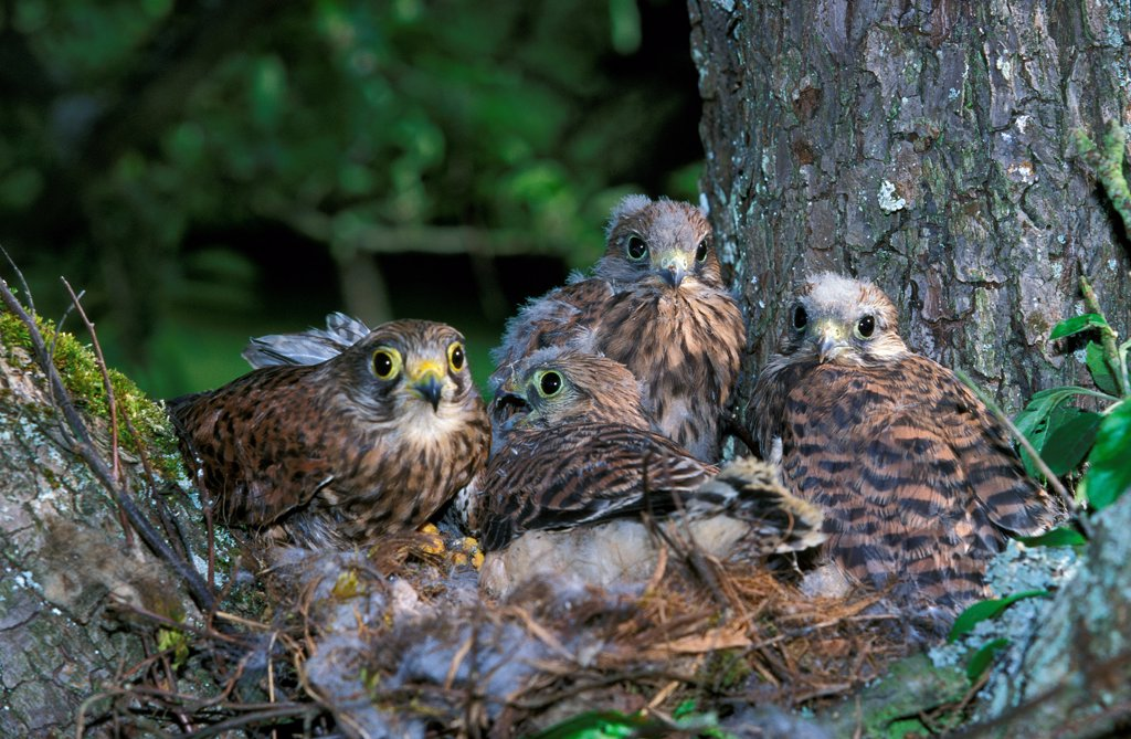 Stock Photo: 4273-19089 Common Kestrel, falco tinnunculus, Youngs in Nest, Normandy