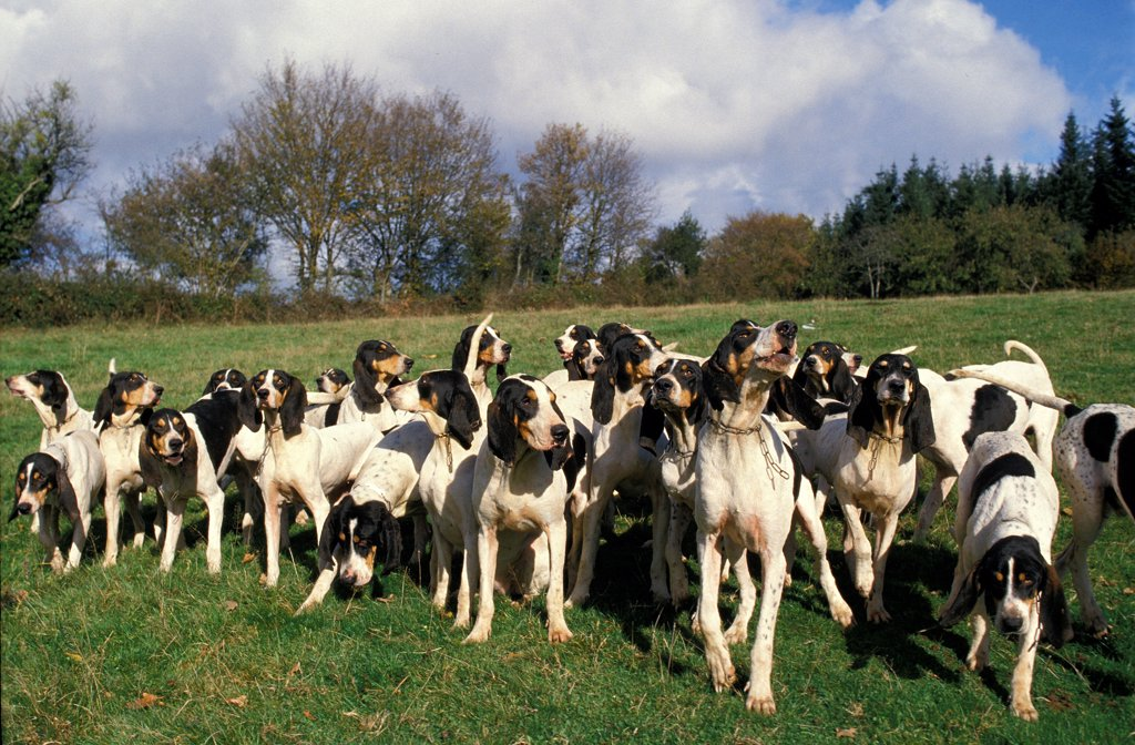 Stock Photo: 4273-19099 Ariegeois Hound, Pack