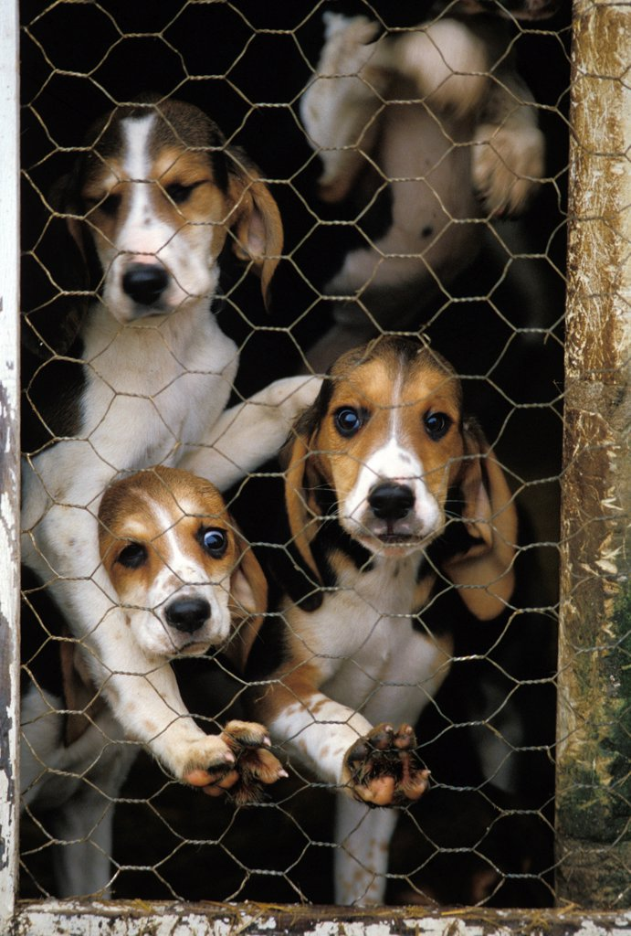 Great Anglo French Tricolour Hound, Pups in Kennel : Stock Photo