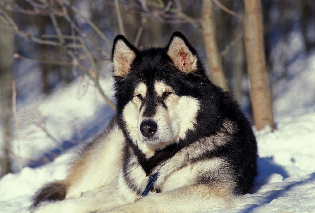 Stock Photo: 4273-19102 Alaskan Malamute Dog, Adult laying on Snow