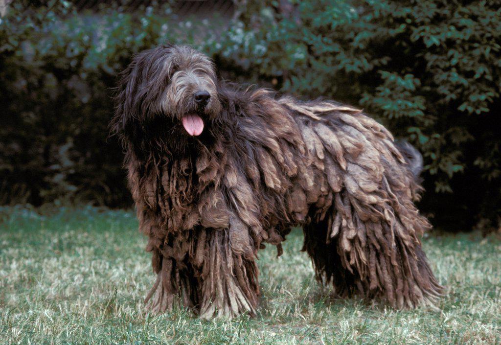 Stock Photo: 4273-19104 Catalan Sheepdog