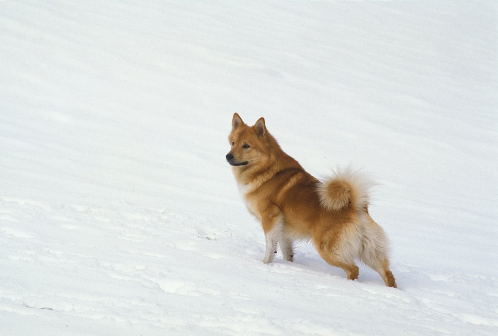 Stock Photo: 4273-19114 Iceland Dog or Icelandic Sheepdog, Adult standing on Snow