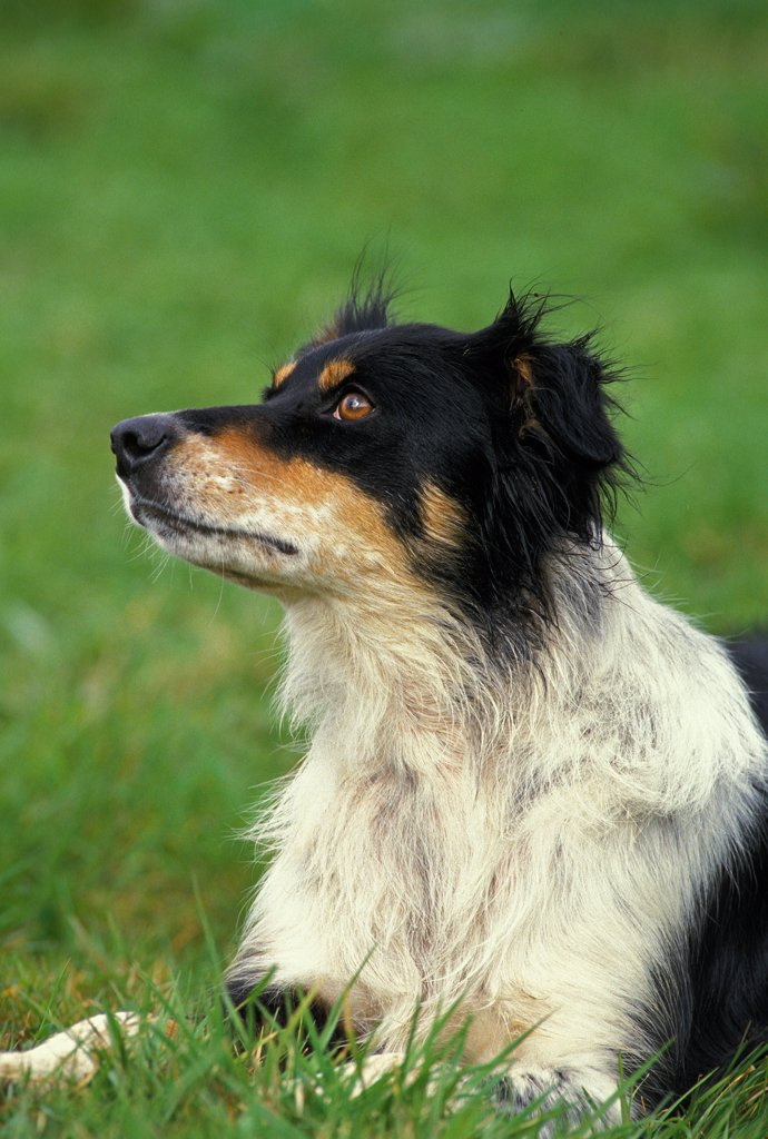 Stock Photo: 4273-19120 Border Collie Dog, Adult laying on Grass