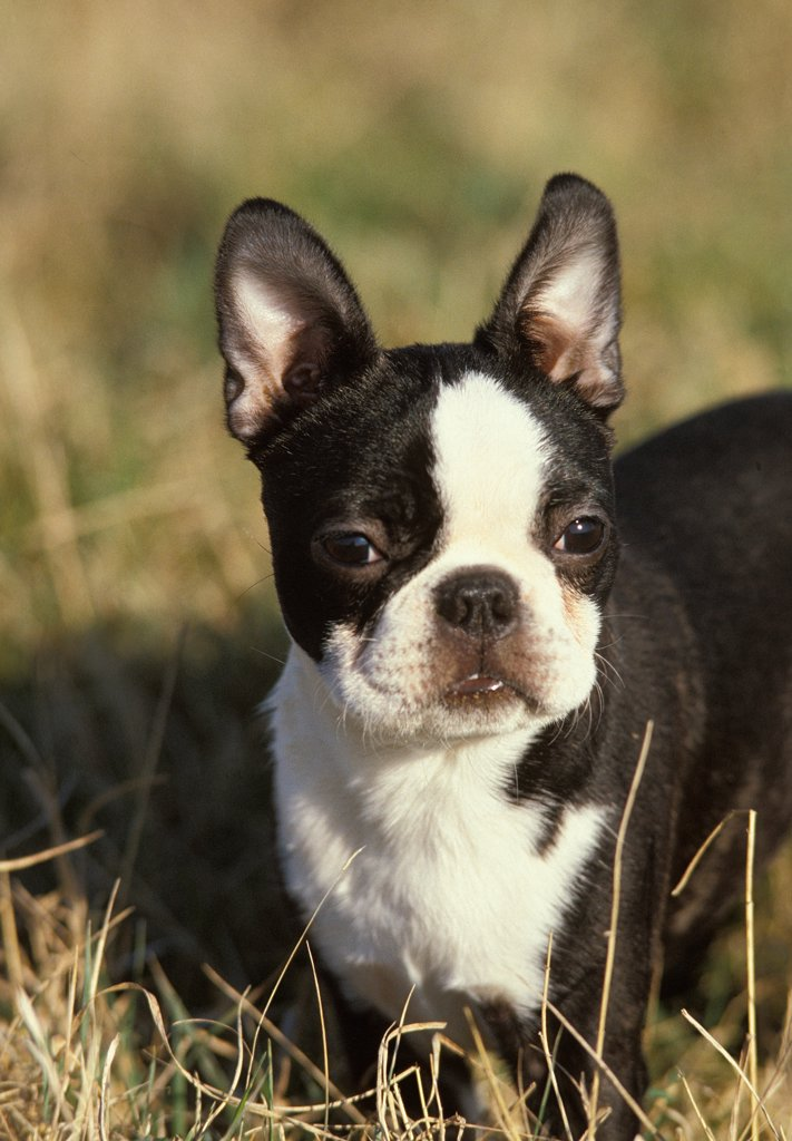 Boston Terrier Dog, Adult standing in Long Grass : Stock Photo
