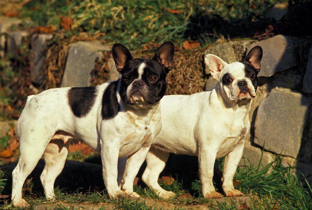 French Bulldog, Adults : Stock Photo