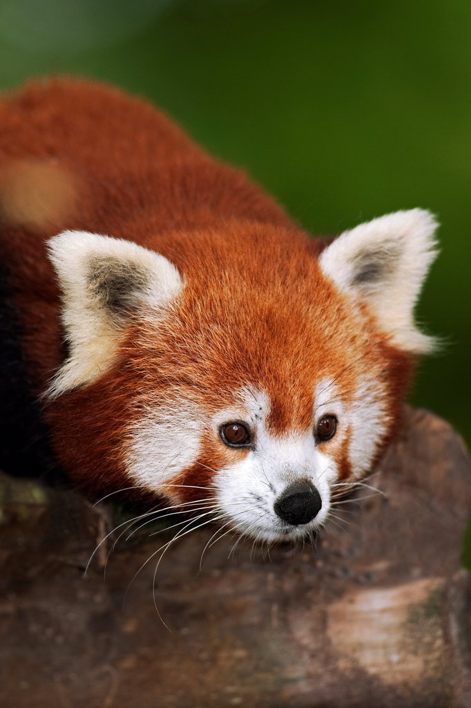 Stock Photo: 4273-19141 Red Panda, ailurus fulgens, Portrait of Adult
