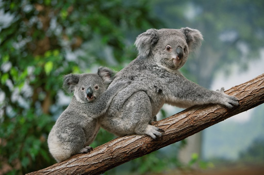 Stock Photo: 4273-19148 Koala, phascolarctos cinereus, Mother with Young standing on Branch