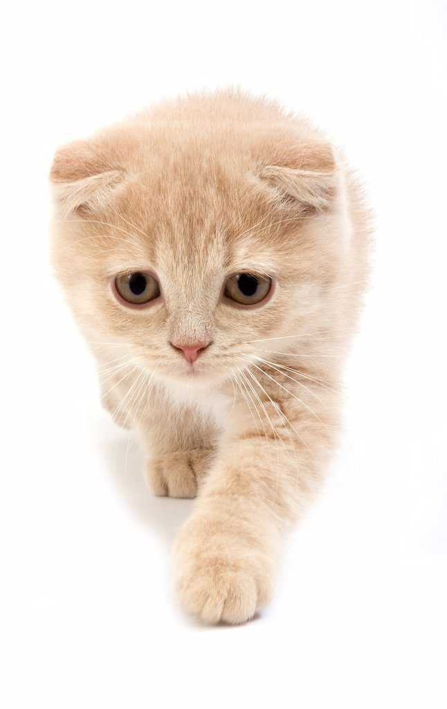 Stock Photo: 4273-19207 Cream Scottish Fold kitten walking against white background