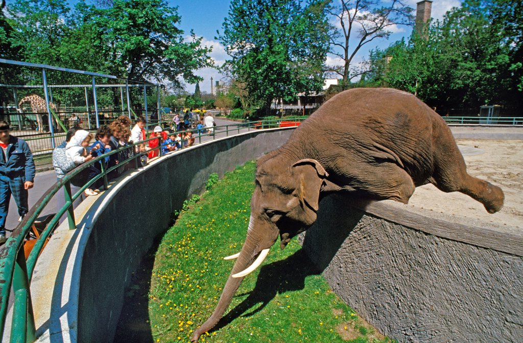Asian Elephant, elephas maximus, Budapest's Zoo in Hungary : Stock Photo