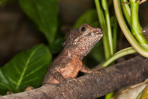 Brown Basilisk Lizard Basiliscus Vittatus, Adult On Branch : Stock Photo