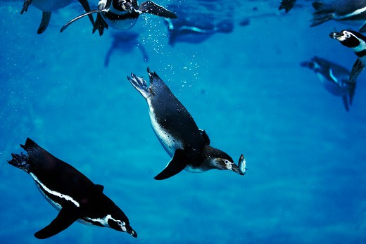 Stock Photo: 4273-1971 Humboldt Penguin, Spheniscus Humboldti, Adult Catching Fish, Underwater View