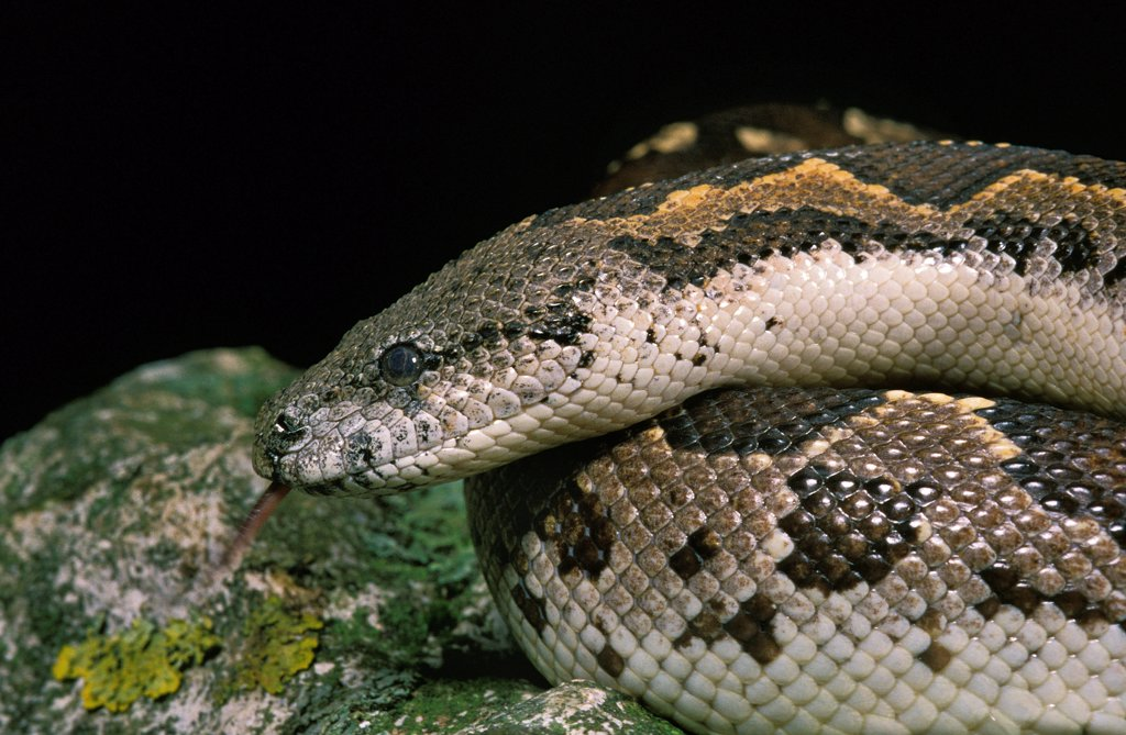 Stock Photo: 4273-20344 Sand Boa, eryx sp.