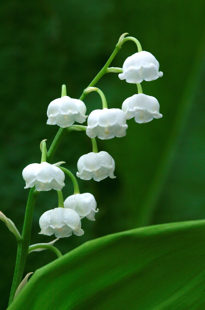 Stock Photo: 4273-20415 Lily of the Valley, convallaria majalis