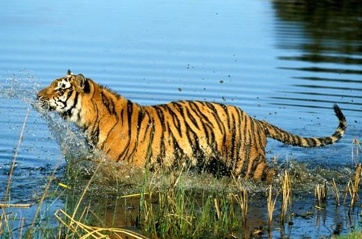 Stock Photo: 4273-2079 Bengal Tiger Panthera Tigris Tigris, Adult Entering Water