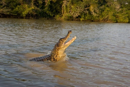 Stock Photo: 4273-21102 Spectacled Caiman, caiman crocodilus, Adult Jumping, Los Lianos in Venezuela