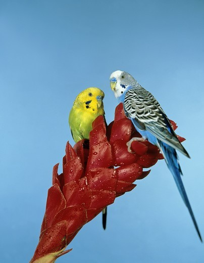 Stock Photo: 4273-21927 Budgerigar, melopsittacus undulatus, Adults standing on Flower