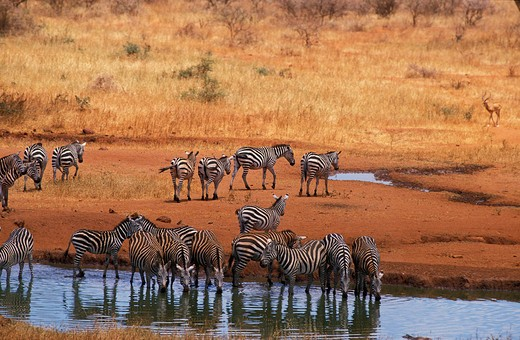 Burchell'S Zebra, Equus Burchelli, Herd Drinking At Water Hole, Masai Mara Park In Kenya : Stock Photo
