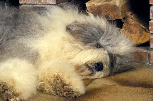 Stock Photo: 4273-22068 Bobtail Dog or Old English Sheepdog sleeping in Front of  Fire place