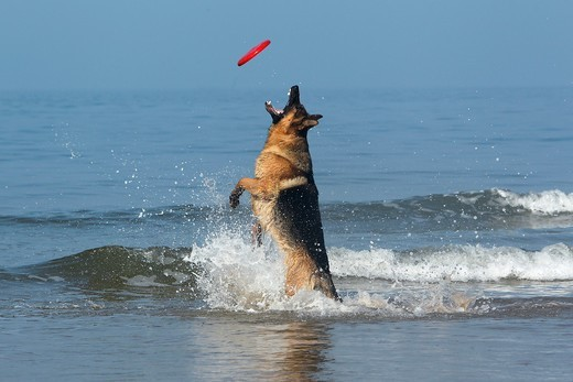 Stock Photo: 4273-22208 German Shepherd, Male catching frisbee, beach in Normandy