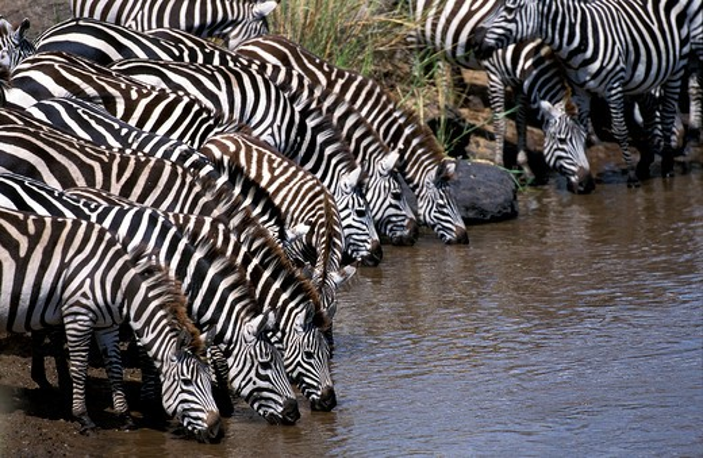 Stock Photo: 4273-2342 Burchell'S Zebra, Equus Burchelli, Herd Drinking At Mara River, Masai Mara Park In Kenya