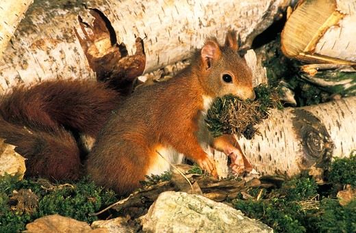 Red Squirrel, Sciurus Vulgaris, Male With Moss In Mouth, Carrying Nesting Material : Stock Photo