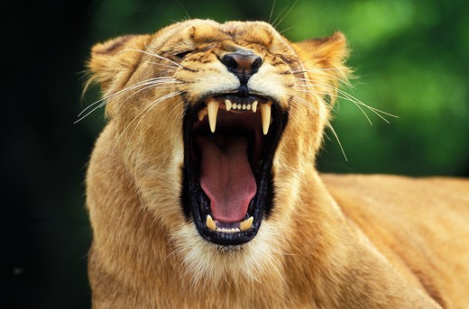 Stock Photo: 4273-2495 African Lion, Panthera Leo, Female Yawning