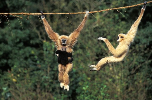 White Handed Gibbon, Hylobates Lar, Female Carrying Young, Hanging From Liana : Stock Photo