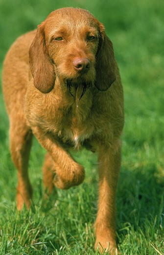 Stock Photo: 4273-2890 Hungarian Pointer Or Vizsla Dog, Adult Pointing